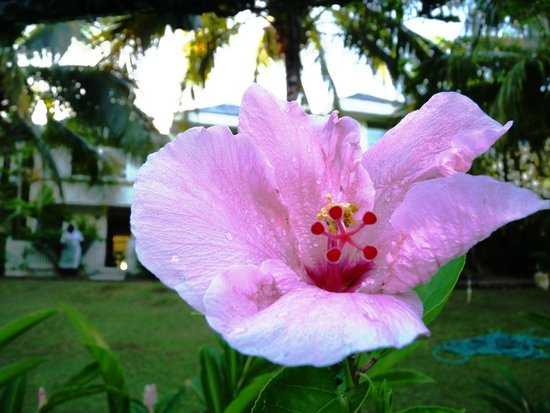 Goblin Hill Villas at San San: One of the flowering plants around the pool