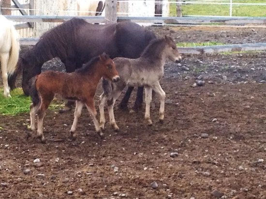Galsi Horse Rental: A couple of the mares had foals