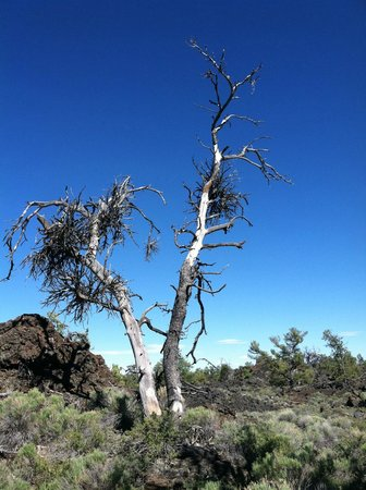 Craters of the Moon National Monument : Witches Broom tree