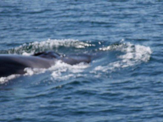 Dolphin Fleet Whale Watch: Fin Whale on Cape Cod
