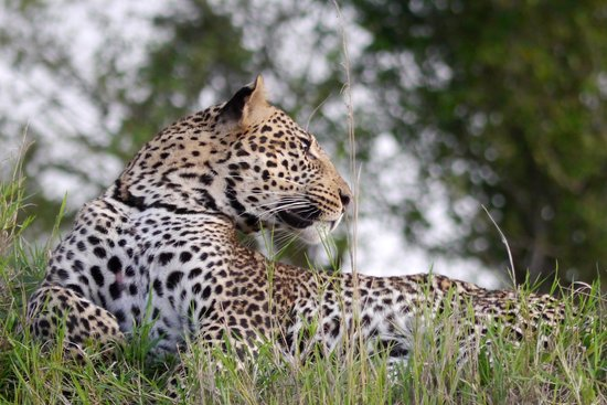 Governor's Camp : Leopard
