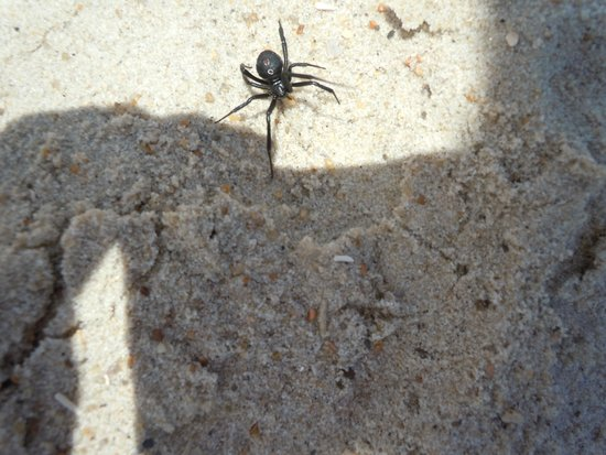 Sanderling Resort : black widow spider
