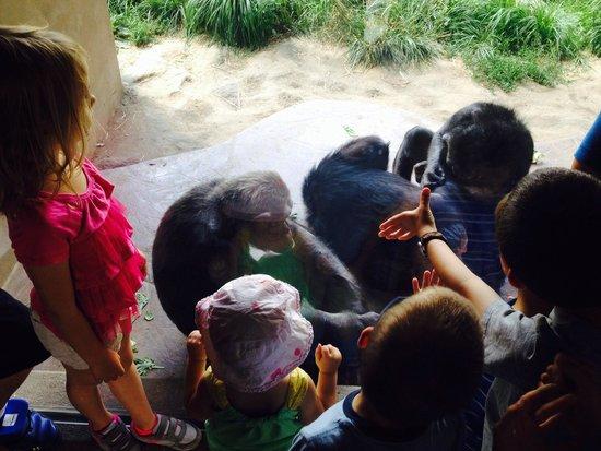 St. Louis Zoo : Chimps