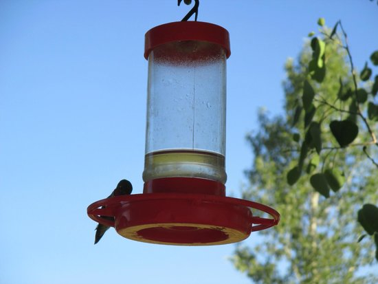 Laramie River Dude Ranch : one of many hummingbirds