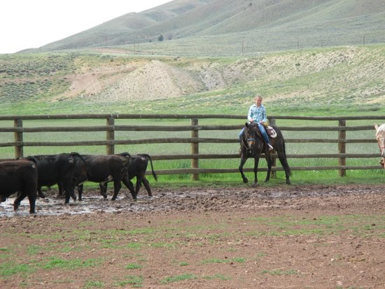 Laramie River Dude Ranch: team penning of the cattle