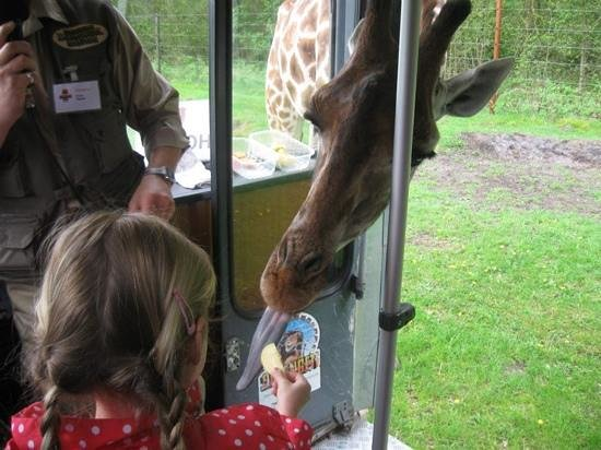 Serengeti-Park Hodenhagen: giraffe voeren in de bus
