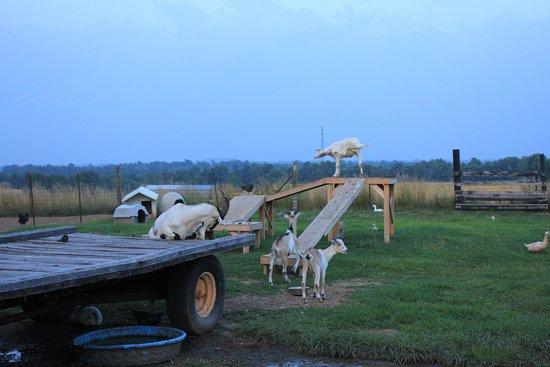 The Farm LLC : Goats