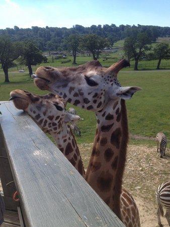 Longleat: Giraffe feeding time