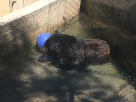 Big Bear Alpine Zoo at Moonridge: Black bear cooling off