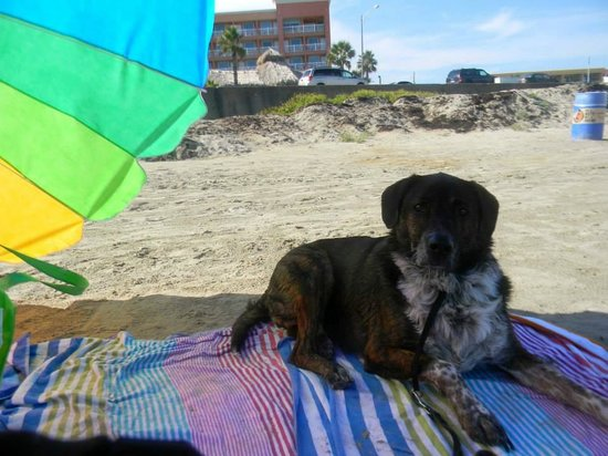 The Seawall : Our Catahoula on the FREE beach in front of our hotel, La Quinta East Beach and Holiday Inn Suns