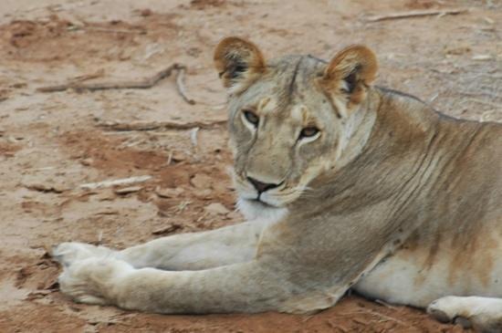 Elephant Bedroom Camp: local lion in Samburu