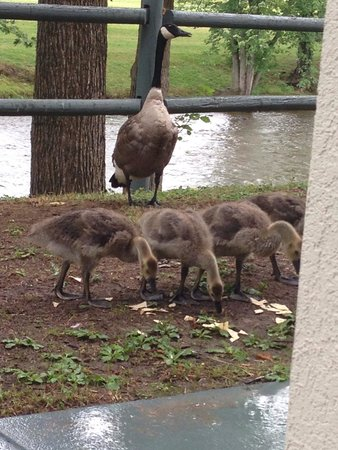 The Inn On The River : Goose family that loved to be fed!