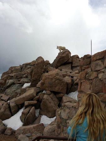 Mount Evans : Mt. Evans Mtn goat