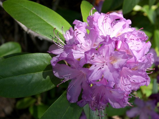 High Country Inn: Very lush rhododendrum