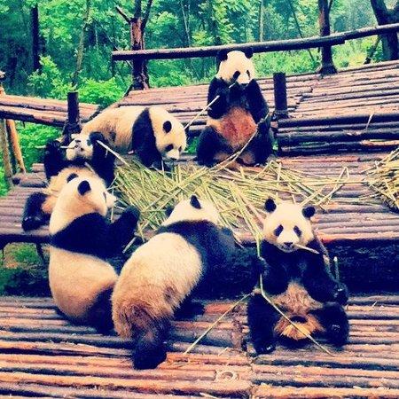 Giant Panda Breeding Research Base (Xiongmao Jidi): good morning!