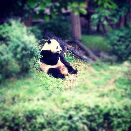 Giant Panda Breeding Research Base (Xiongmao Jidi): yum yum