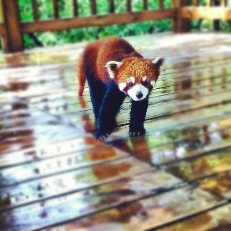 Giant Panda Breeding Research Base (Xiongmao Jidi): A red panda came right up to me!