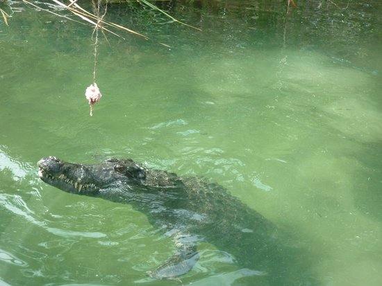 Hartley's Crocodile Adventures: Feeding Time at Hartleys - off the boat