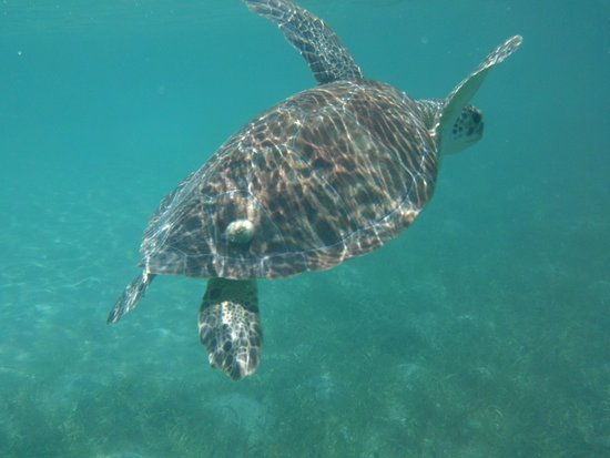 Francis Bay: Smallest turtle we saw...same area all day...easy to ID by barnicle on shell