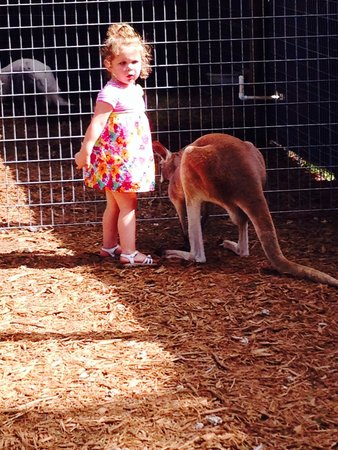 Safari Edventure : Meeting the kangaroo