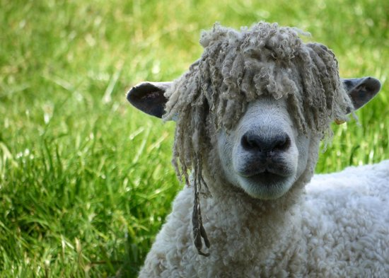 Cotswold Farm Park: Bad hair day!