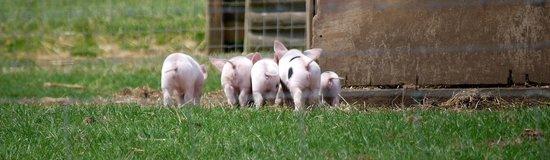 Cotswold Farm Park: The piglets were adorable