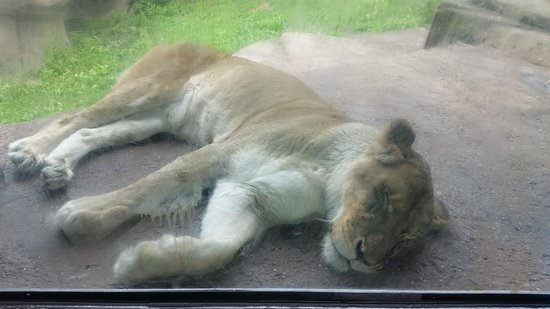 Lincoln Park Zoo : window into the world of the lion