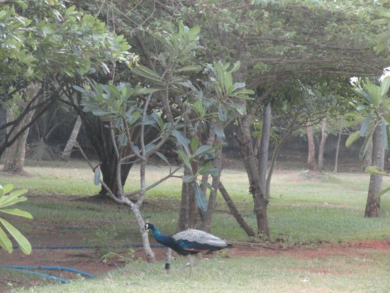 Kassapa Lions Rock: Peacock in the campus
