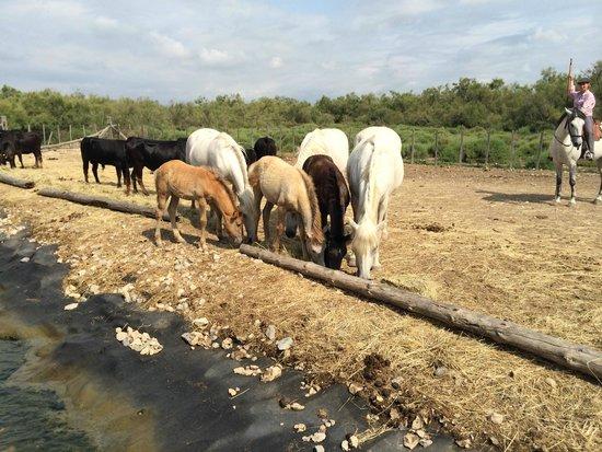 Tiki 3 : Tori e cavalli della camargue con la mandriana