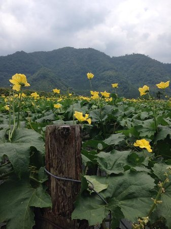 Redwood Cottage: beautiful loofah crops galore