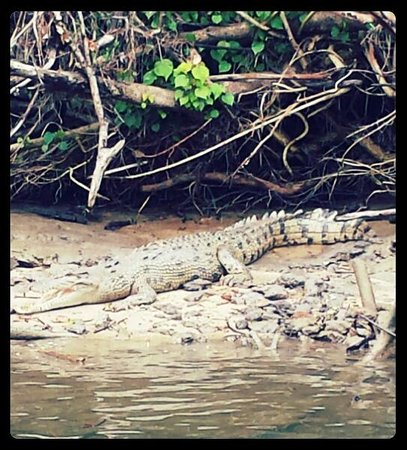 Bruce Belcher's Daintree River Cruises: crocodile!!