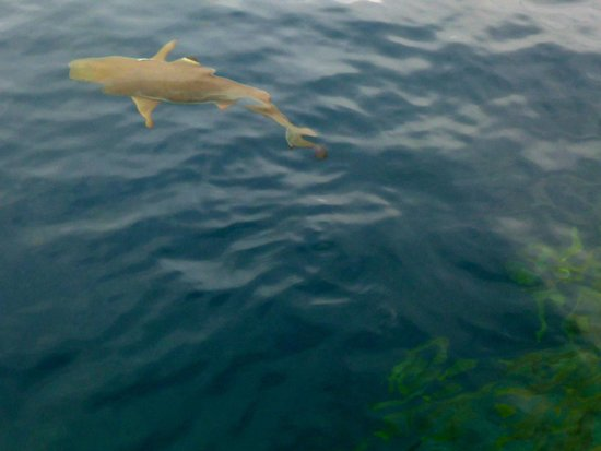 The Wilderness Lodge: local reef shark