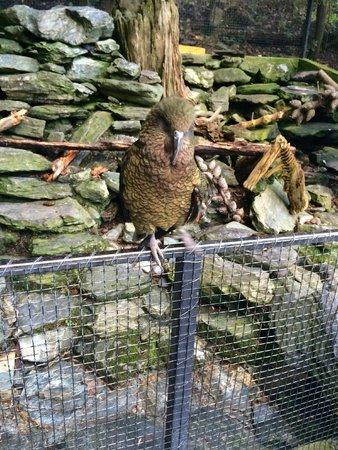 Kiwi Birdlife Park: Kea
