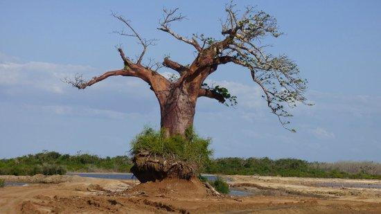 Saadani Safari Lodge: Boa Boa Tree