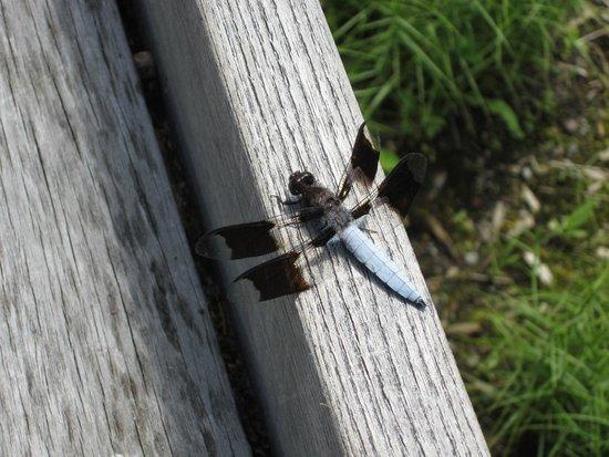 New York Botanical Garden : Dragonfly in the native plant garden
