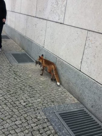 Insider Tour: Fox walking by former SS building