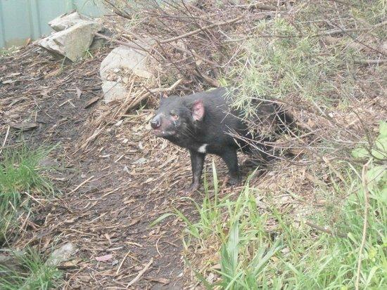 Cleland Wildlife Park: Tasmanian Devil