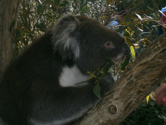 Cleland Wildlife Park: Koala