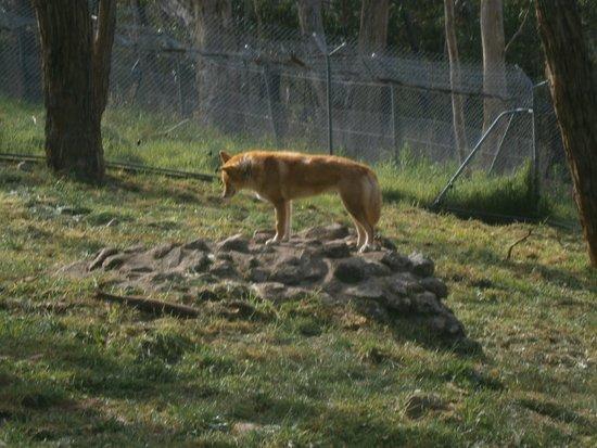 Cleland Wildlife Park: Dingo