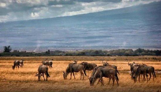 Diani Beach, Kenya: wildebeest masai mara