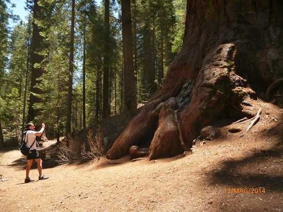 Mariposa Grove of Giant Sequoias: sequoia