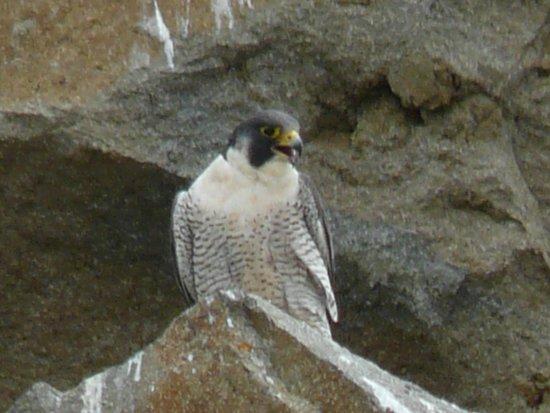 Morro Rock: Peregrine Falcon at Morro Bay