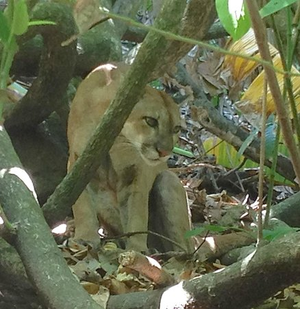 Corcovado National Park: Puma on the hike out of Corcovado