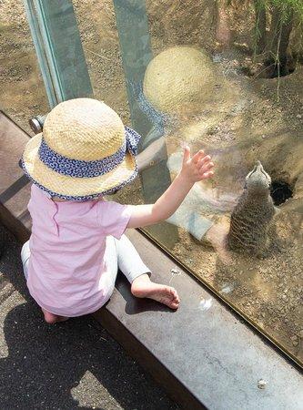 ZSL London Zoo : Meerkat, London Zoo
