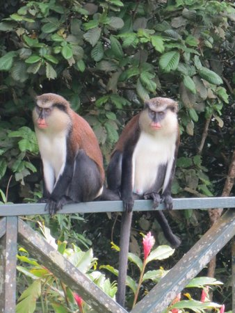 Sunsation Tours: Two Mona Monkeys in the rain forest