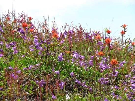 Johnston Ridge Observatory: Wildflowers in June