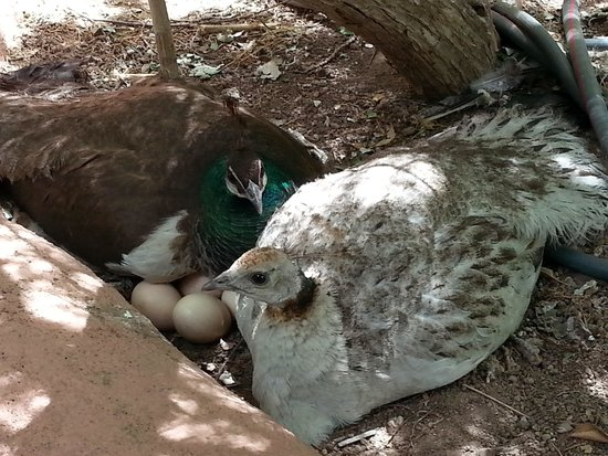 Rancho Jacona: Pea fowl and their egg babies!