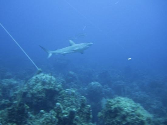 Small Hope Bay Lodge: Not uncommon to see reef sharks on dives. Very cool!