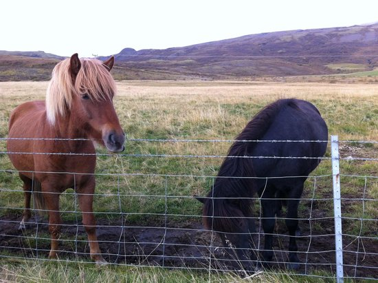 Iceland Horizon - Golden Circle Tour: Icelandic Horses