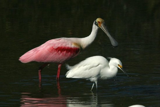 Quick Point Nature Reserve: Roseate spoonbill and snowy egret